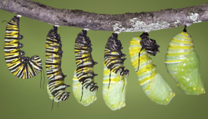 Monarch caterpillar shed to chrysalis